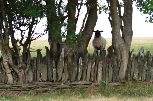 Przez niewysokie płoty i owce przejdą